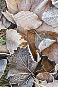 Autumn leaves with hoarfrost