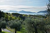 Olivenbäume in Italien