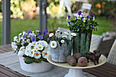 Potted violas, primulas and bellis on terrace table