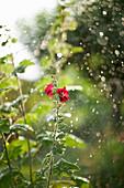 Flowering hollyhock in rain