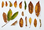 Herbstblätter der Eßkastanie in verschiedenen Stadien