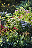 Perennial bed in autumn with asters, knotweed, and sage