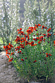 Red Gyroflee flowers in natural garden height