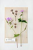 Knotted cranesbill: herbarium