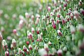 Crimson clover starting to flower