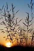 Wild grass herbs in sunset back light