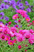 New England aster in herbaceous border