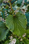 Shiso-Pflanze mit Blüten