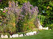 Lavender bushes tied together