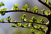 Budding currant leaves in spring