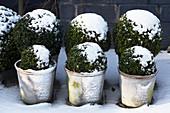 Winter im Zen-Garten mit Buchsbaum im Schnee