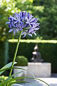 Blue agapanthus flower
