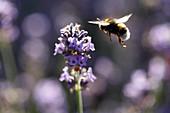 Bumblebee flying towards lavender flower
