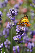 Queen of Spain fritillary on lavender flower
