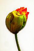 Opening poppy bud