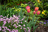 Spring bed with tulips and goosecress