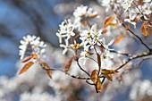 Flowering branch of a Shadbush