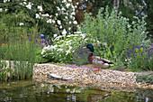 A mallard at a garden pond