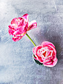Rosa blühende Tulpen in einer Vase
