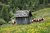 Cows in a pasture with a small wooden hut