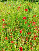 Poppies in wildflower meadow
