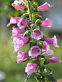 Portrait of pink foxglove