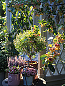 Autumn arrangement with myrtle, ling, prickly heath and sedum next to the arbour and crabapple tree
