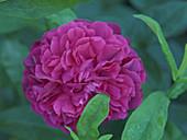 Rose blossom ('Rose de Resht')