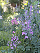 Combination of purple flax and phlox