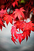 Japanese maple in autumn colours