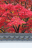 Acer trees, acer palmatum. Autumn Color at Eikando Temple.