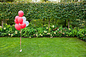 Red and white helium balloons tied in a bunch and waited down. Grass lawn in a garden. Decorations.