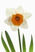 Narcissus 'Johan Strauss'