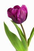 Tulip 'Purple Rain'