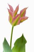Tulip 'Virichic'