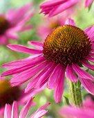 Echinacea 'Pixie' (Nahaufnahme)