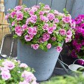Petunia Viva 'Double Pink' in flowerpot