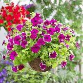Petunias (Petunia Viva 'Purple Picotee) in hanging basket