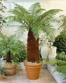 Tree fern in pot (Dicksonia fibrosa)
