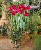 Pink tulips, variety 'Preludium'