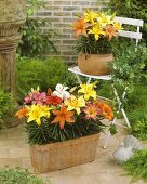 Mixed lilies (Lilium 'Pixie') in garden