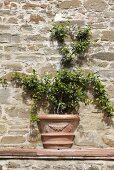 Clay planter with a vine that has been built into a natural stone wall