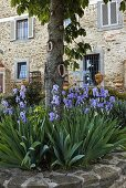 Tree in a flower bed with blooming flowers and a view of a an old country house with a natural stone facade
