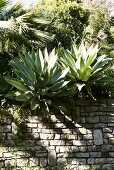 Agave plants on a natural stone wall