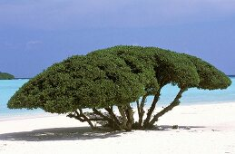 View through a large spreading tree of the ocean, the majestic canopy shadows the sandy beach