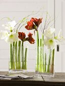 Red and white amaryllis in a glass vase