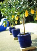 Garden detail, a row of lemon trees in pots covered with blue fabric