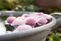 Pink daisies floating in a zinc bath
