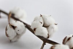 A sprig of cotton