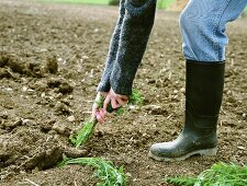 Carrots being pulled out of the soil